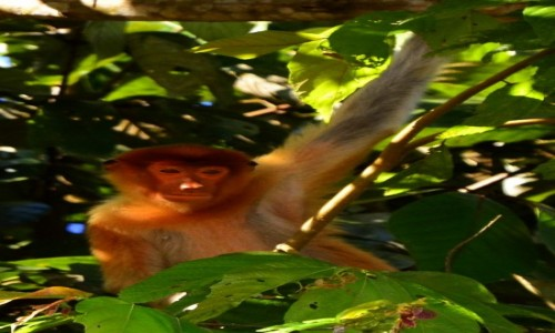 Zdjęcie MALEZJA / Borneo, Sabah / Rzeka Kinabatangan / Małpa Probosis, Sabah, Borneo