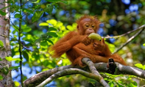 Zdjecie MALEZJA / Borneo / Semenggoh / Śniadanie