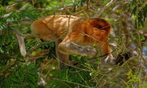 Zdjecie MALEZJA / Borneo / Bako National Park / Nosacz