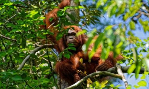 Zdjecie MALEZJA / Borneo / Semenggoh / Wymiana spojrzeń