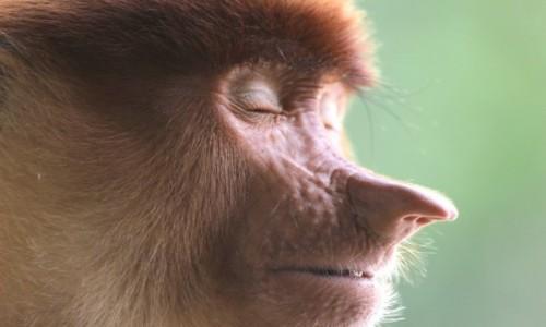 Zdjecie MALEZJA / Borneo / Borneo / drzemka