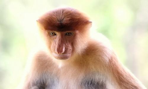 Zdjecie MALEZJA / Borneo / Borneo / nosaczka