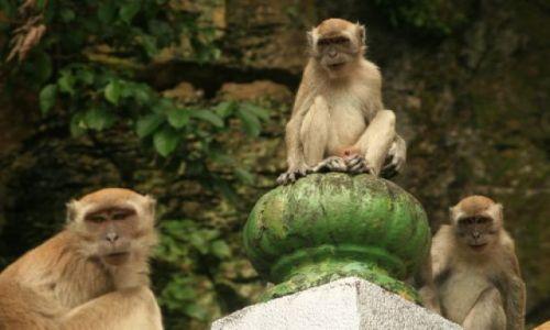 Zdjecie MALEZJA / brak / Niedaleko Kuala Lumpur / Małpy w świątyni Batu