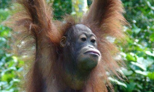 Zdjecie MALEZJA / Borneo / Sepilok / Mieszkaniec Borneo
