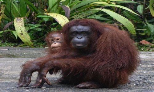 Zdjecie MALEZJA / Sarawak / okolice Kuching / Orangutany