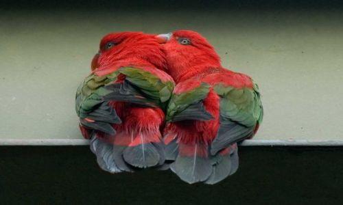 Zdjecie MALEZJA / Kuala Lumpur / brak / Walentynkowe papużki :)