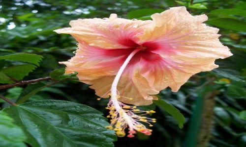 Zdjecie MALEZJA / Kuala Lumpur / Ogród orchidei / chińska róża ( Bunga Raya )