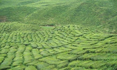 Zdjecie MALEZJA / północna Malezja / Wzgórza Cameron / plantacja herba