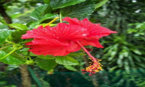 Zdjecie MALEZJA / brak / Kuala Lumpur - Hibiskus garden / Hibiskus