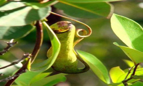 Zdjęcie MALEZJA / Sarawak / Bako National Park / Nepenthes