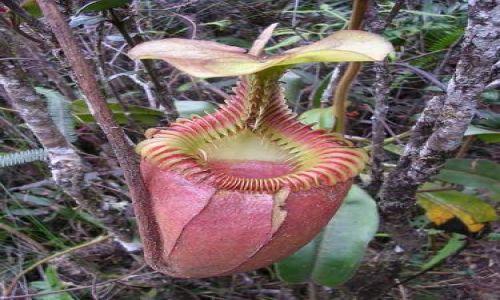 Zdjecie MALEZJA / Sabah, Borneo / Kinabalu Park / Owadożerny kwiat