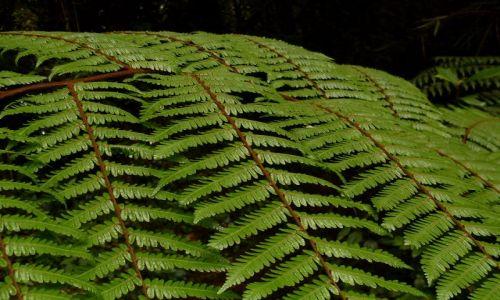 Zdjecie MALEZJA / Pahang / Cameron Highlands / ... zielona tapeta...