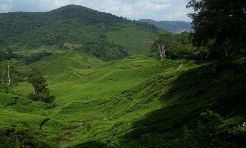 Zdjecie MALEZJA / Pahang / Cameron Highlands / ... herbaciane pola...
