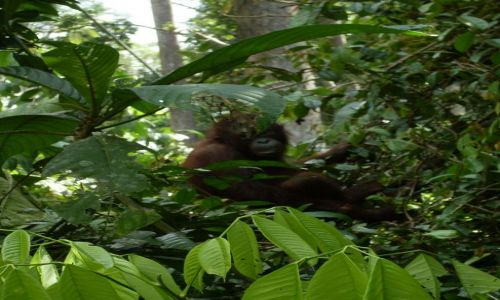 Zdjęcie MALEZJA / Sabah / Borneo-Berhala / .... Sepilok... orangutani azyl....