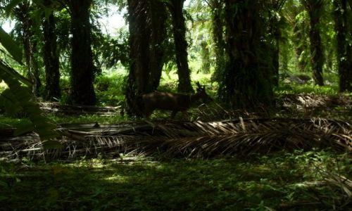 Zdjęcie MALEZJA / Sabah / Borneo-Sukau-okolice / ... skradam się ...