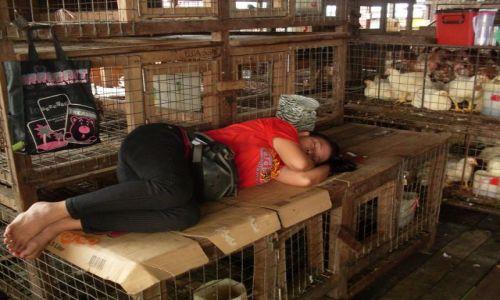 Zdjęcie MALEZJA / Sabah / Borneo-Kunak / ... chodzę spać z kurami...