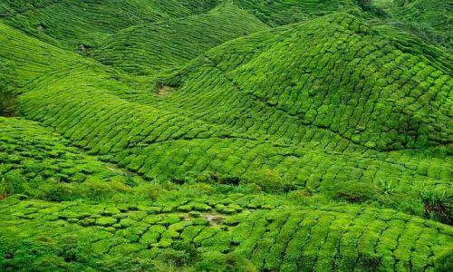 Zdjecie MALEZJA / Cameron Highlands / Plantacje herbaty w Cameron Highlands / Zielono mi ;-)