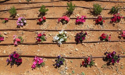 Zdjęcie MALTA / Gozo / Mellieha / Kwiaty - efekt serca i pracy