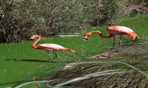 Zdjęcie MALTA / Bugibba / Ptasie ogrody / Flamingi