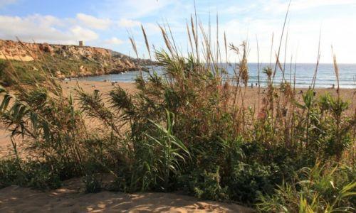 Zdjęcie MALTA / Melieha / Golden Bay / Trzciny
