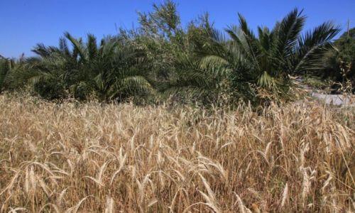 Zdjęcie MALTA / Bugibba / Przedmieścia / W cieniu palm