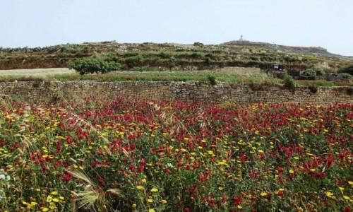 Zdjęcie MALTA / Gozo / Ta'Pinu / Pole