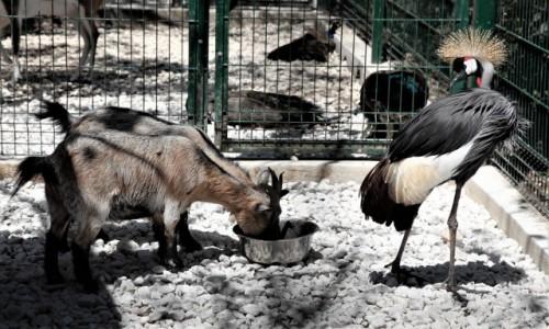 Zdjęcie MALTA / Bugibba / Ptaszarnia / Kozom nie podskoczysz