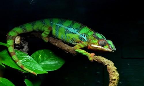 Zdjecie MALTA / Qawra / Malta National Aquarium / Kameleon