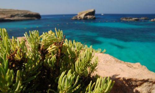 Zdjecie MALTA / - / Wyspa Comino / rosła sobie roślinka...