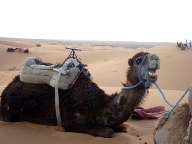Zdjęcia: okolice Erfoud - Sahara, południowo-wschodni kraniec Tafilant, Trochę wyleniały ale zadowolony., MAROKO