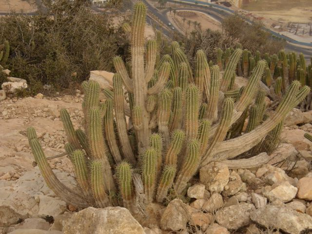 Zdjęcia: agadir, kaktusy, MAROKO