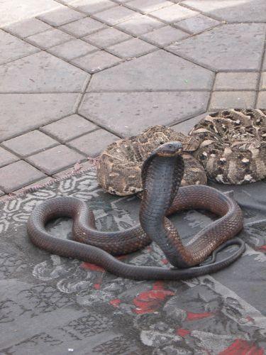 Zdjęcia: marakesz, kobra, MAROKO