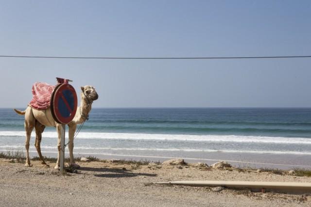 Zdjęcia: Taghazout, Taghazout, African Road Trip - wielbłądy, MAROKO