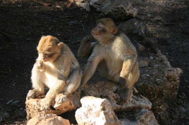 Zdjęcia: Góry Maroka, Średni Atlas, młodziutkie makaki berberyjskie, MAROKO