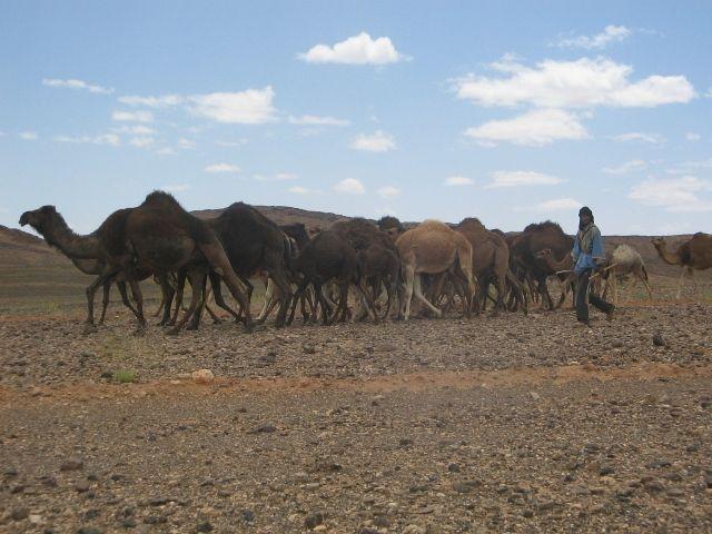 Zdjęcia: poludnie, wypas wielbladow, MAROKO