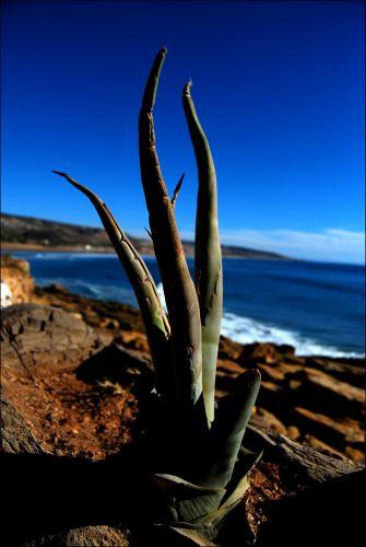 Zdj�cia: Agadir, Agadir, Kaktus, MAROKO