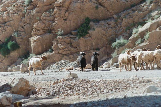 Zdj�cia: todra, koz�y, MAROKO