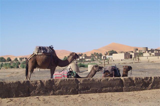 Zdjęcia: Merzouga, wielbłądy, MAROKO