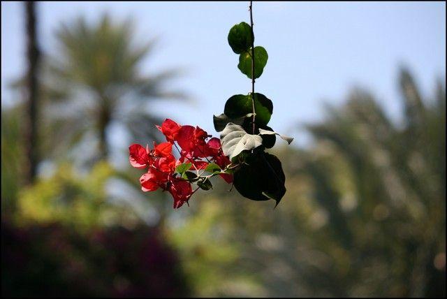 """Zdjęcia: Marakesz, skoro """"Ktos"""" wspomnial o kwiatach ...;), MAROKO"""