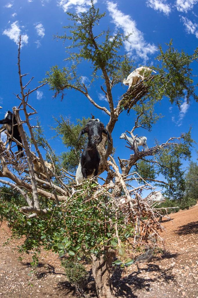 Zdjęcia: Ounaga, Wybrzeże atlantyckie, kopytne amatorki orzeszków arganowych, MAROKO