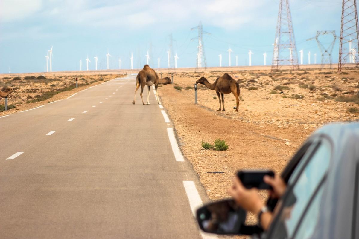 Zdjęcia: Zachodnia Sahara, Zachodnia Sahara, Uwaga :) Na zwierzęta domowe :) , MAROKO