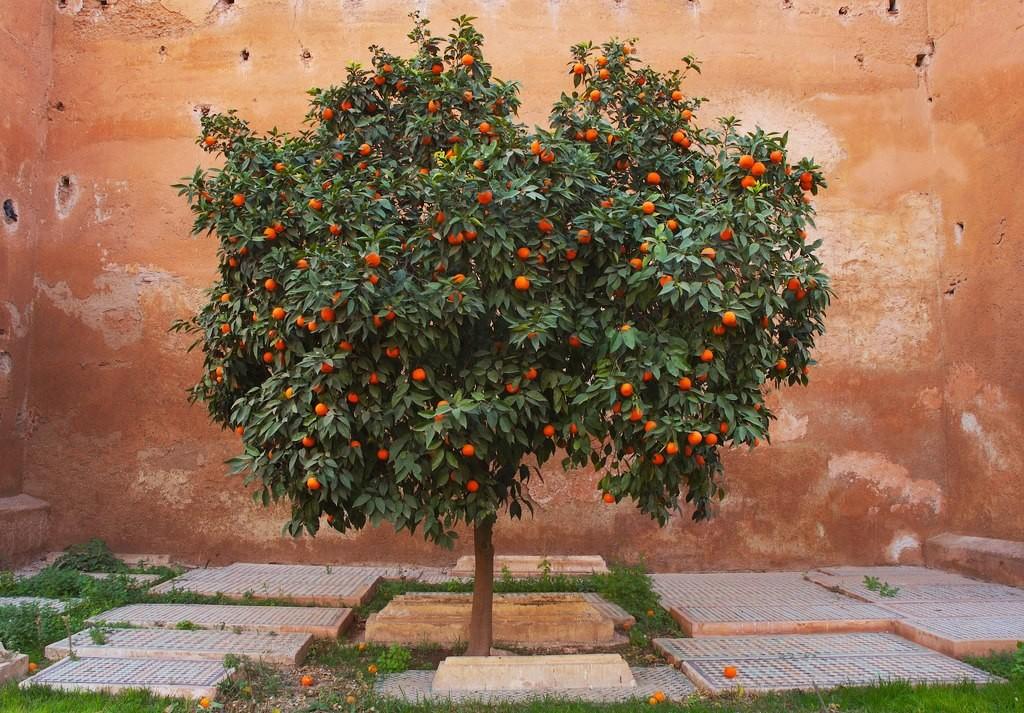 Zdjęcia: Medina, Marakesz, Samotne drzewo, MAROKO