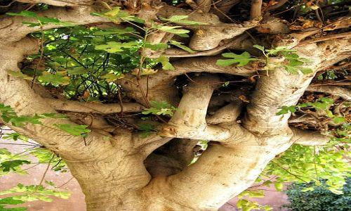 Zdjęcie MAROKO / Marrakech / Marrakech / tutaj nawet drzewa są skomplikowane