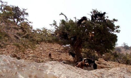 Zdjecie MAROKO / - / Okolice Agadiru / Drzewo arganowe z kozami zajadającymi się orzeszkami