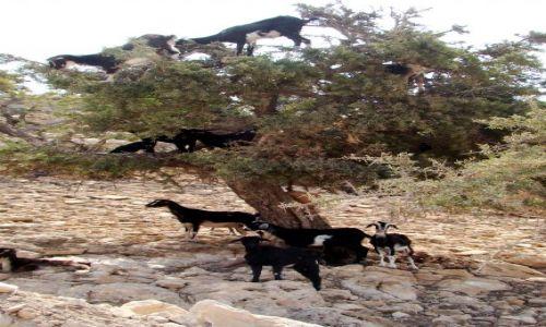 Zdjecie MAROKO / - / Okolice Agadiru / Drzewo arganowe z kozami II