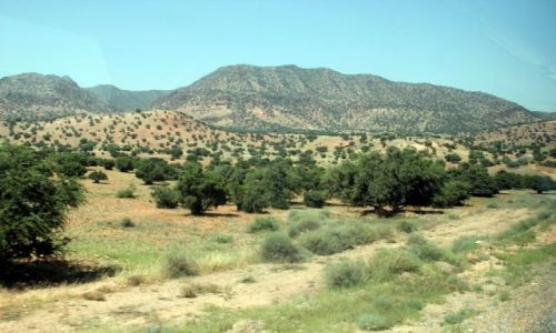 Zdjecie MAROKO / - / w drodze do Taliouine / Drzewa arganowe - tylko w tym rejonie rosną.
