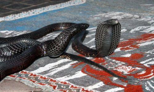 Zdjecie MAROKO / - / Marakesz / Zbliżenie węży dla teddego ;)