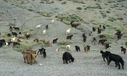 Zdjecie MAROKO / - / MAroko południowe / kozy...owce