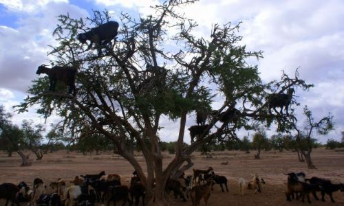 Zdjecie MAROKO / -Przełęcz Tiz n` Test / Maroko / Kozy na drzewie