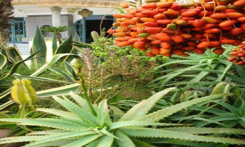 Zdjecie MAROKO / - / Agadir / roślinność Maroka
